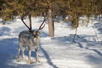 Reindeer (Rangifer tarandus)